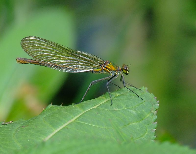 Female Banded Demoiselle on the River Nidd, Killinghall on 01/07/2009. - © Stuart Roebuck.