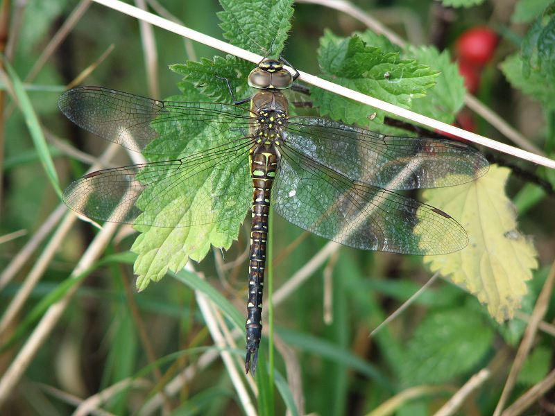 Female Migrant Hawker at North Cave Wetlands on 01/09/2009. - © Paul Ashton.