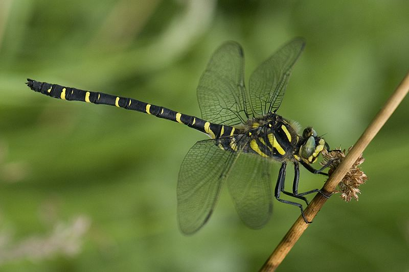 Male Golden-ringed Dragonfly at Fen Bog on 04/07/2009. - © Maurice Gordon.