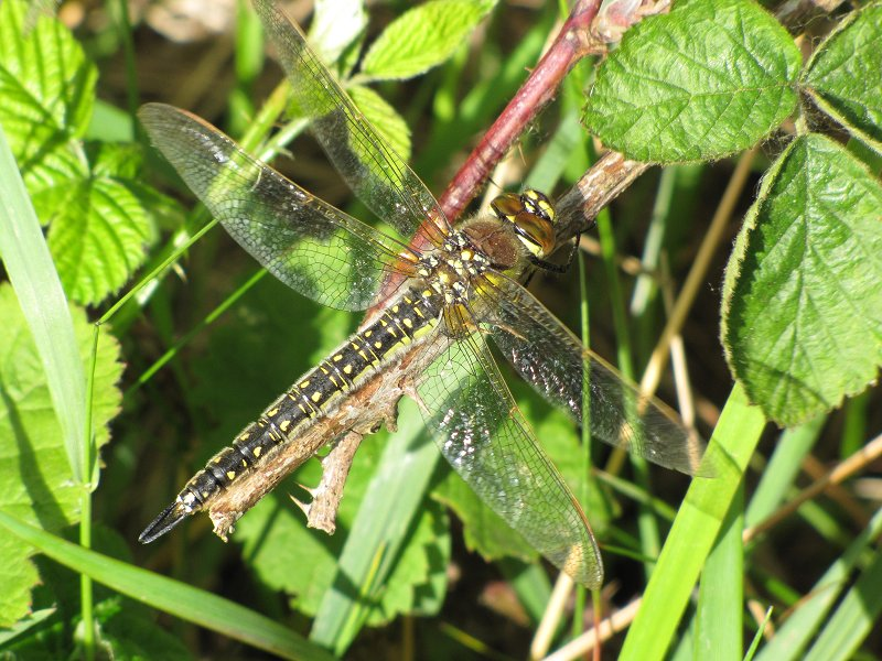 Female Hairy Dragonfly at Broomfleet on 12/05/2011 - © Paul Ashton.