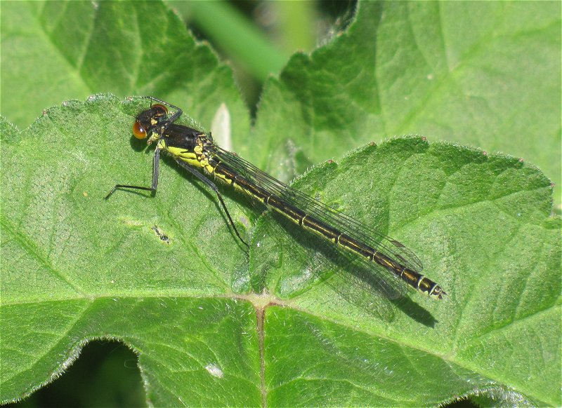 Female Red-eyed Damselfly at Broomfleet on 12/05/2011 - © Paul Ashton.
