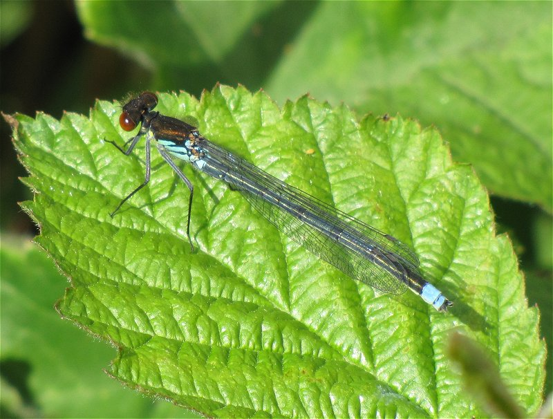 Male Red-eyed Damselfly at Broomfleet on 12/05/2011 - © Paul Ashton.