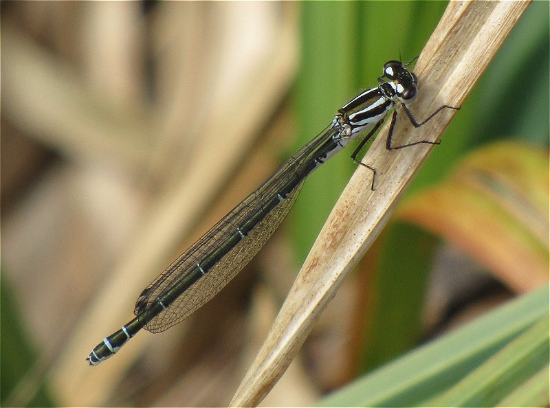 Female Azure Damselfly at Tophill Low on 15/05/2010 - © Paul Ashton.