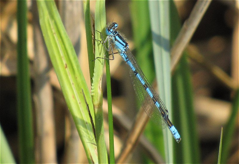Male Common Blue Damselfly at Broomfleet Washlands on 23/05/2010 - © Paul Ashton.
