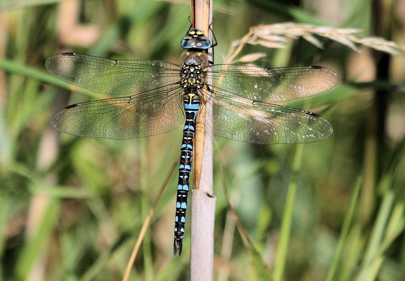 Migrant Hawker at Spurn on 25/08/2009. - © Michael Flowers.