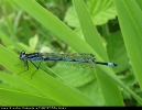 Male Variable Damselfly at Broomfleet Washlands on 22/05/2007. - © Paul Ashton.