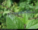 Female Variable Damselfly at Oxmardyke Marr on 12/06/2007. - © Paul Ashton.