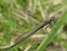 Male Variable Damselfly at Broomfleet Washlands on 30/04/2009 - © Paul Ashton