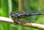 Variable Damselfly at Broomfleet Washlands on 21/05/2009 - © Paul Ashton