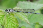 Immature female Variable Damselfly at Broomfleet Ponds on 06/05/2010 - © Paul Ashton.