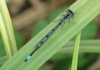 Male Variable Damselfly at Broomfleet Washlands on 19/05/2010 - © Paul Ashton