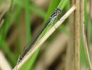Female Variable Damselfly at Broomfleet Washlands on 19/05/2010 - © Paul Ashton