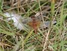 Male Yellow-winged Darter at Top Scrub, Filey on 06/09/2009. - © John Harwood.